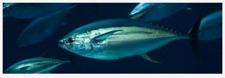Pez Robótico Inspirado en el Atún